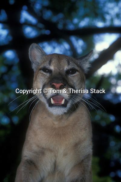 Florida Panther, Felis concolor coryi (captive)