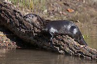 River Otter standing on a log - CA