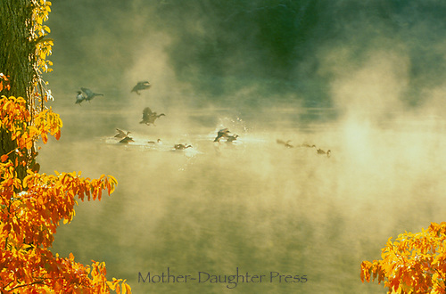 Geese in mist landing on lake with sassafras trees in fall, Missouri, USA