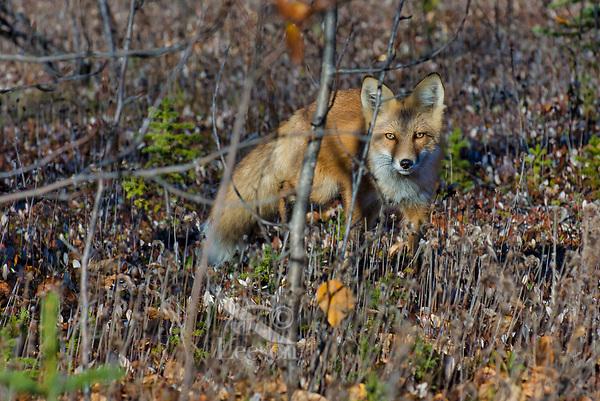 Red Fox (Vulpes vulpes).  Yukon/British Columbia border.  Sept.