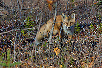 Red Fox (Vulpes vulpes).  Yukon/British Columbia border.  Sept.