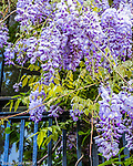 Wisteria on Beacon Hill, Boston, Massachusetts, USA