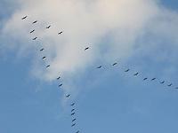 Kranich, Kraniche im Flug, Formation, V-Formation, Zuggeschehen, auf dem Zug, Grus grus, common crane