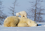Polar bear and cub, Manitoba, Canada