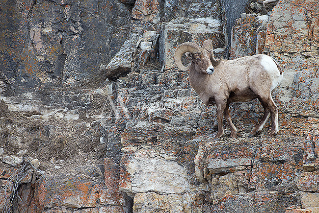 Bighorn sheep often come down to lower elevations to graze in winter.