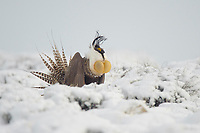 A male Gunnison Sage Grouse at the height of its display. Gunnsion County, Colorado.