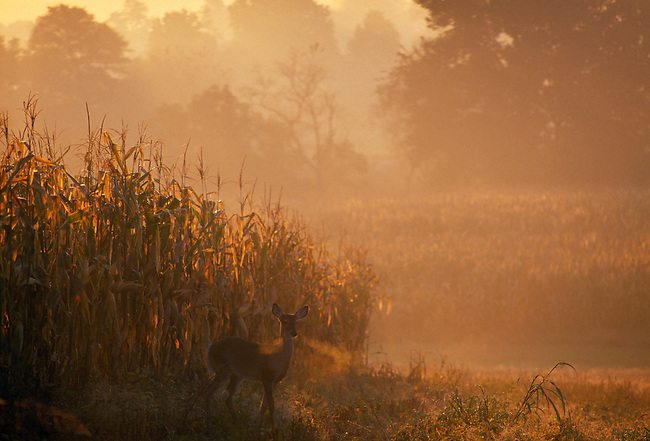 White-tail doe near edge of cornfield at sunrise, Albermarle County, VA