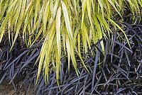 Hakonechloa macra 'Aureola' + Ophiopogon planiscapus 'Nigrescens'