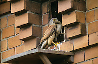 Turmfalke, Männchen, Terzel an Nisthilfe an Fassade, mit erbeutetem Kleinvogel im Schnabel, Turm-Falke, Falke, Falco tinnunculus, common kestrel
