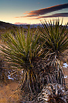 Mojave Yucca plant (Yucca schidigera) at sunset, near Quail Springs, Joshua Tree National Park, California