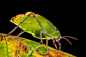 Malaysian Leaf Katydid {Ancylecha fenestrata},  an execellent leaf mimic originating from the rainforests of  Western Malaysia. Captive.