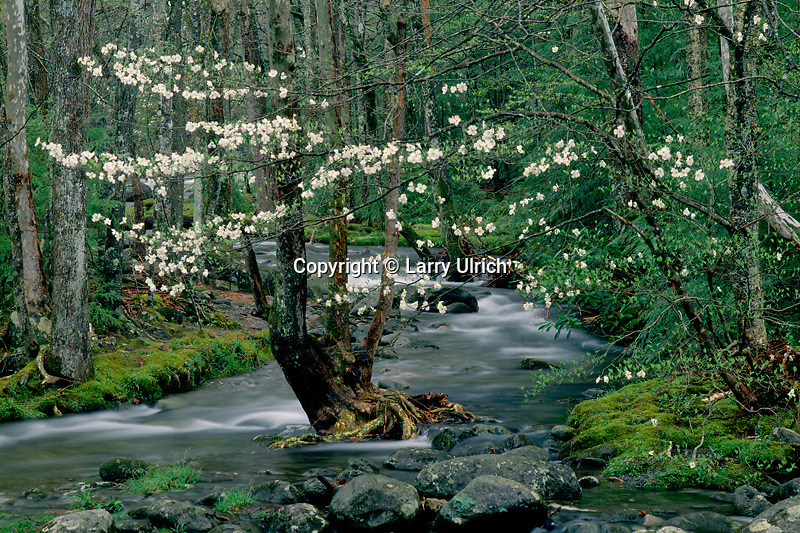 Flowering dogwood, Greenbrier Cove<br />