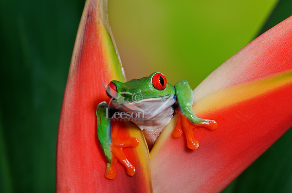 Cute Red-eyed Tree Frog (Agalychnis callidryas) making direct eye contact while holding onto colorful tropical flower. Native to Central America. Captive.