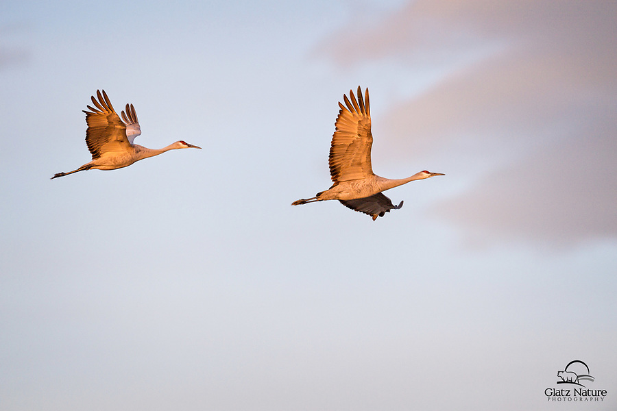 Pair of Sandhill Cranes (Grus canadensis) soars above a pond in the warm glow of the morning light.  Bosque del Apache National Wildlife Refuge, New Mexico.