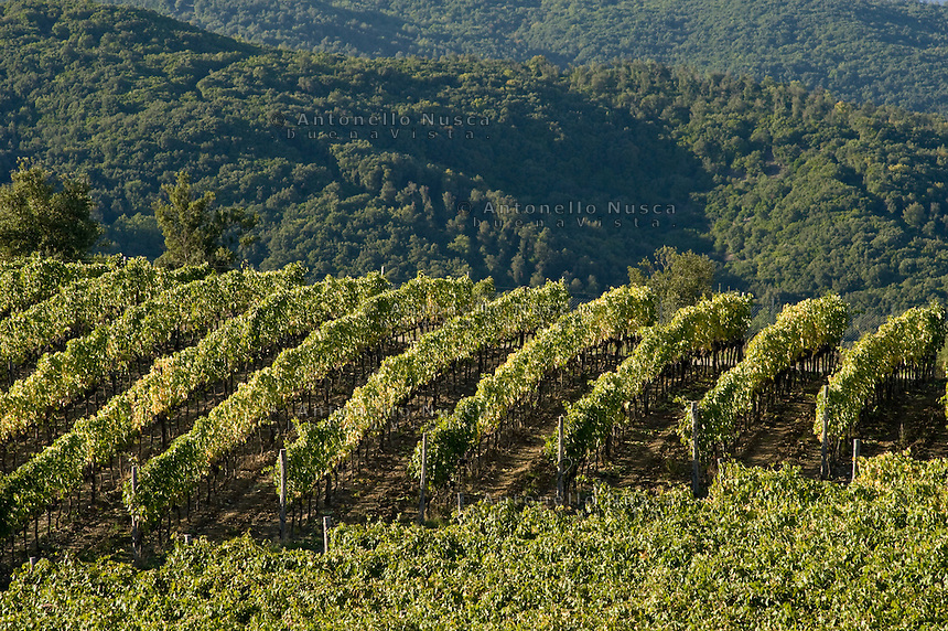 Brunello vineyards in Montalcino..Vigneti di Brunello a Montalcino