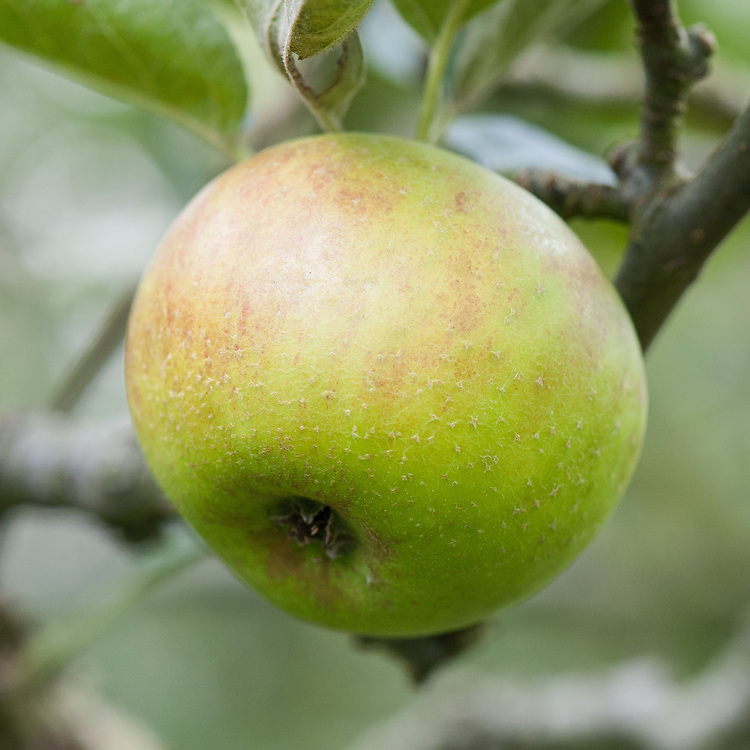 Apple 'Beauty of Hants', mid September. An English dessert apple thought to come from near Southampton, Hampshire in the mid 19th century.
