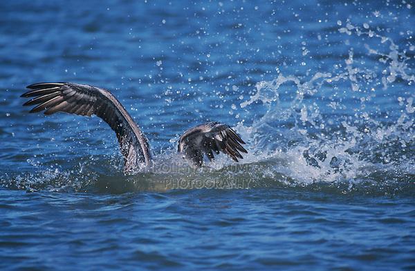 Brown Pelican, Pelecanus occidentalis, adult diving for fish, Port Aransas, Texas, USA, December 2003