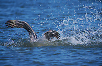 Brown Pelican, Pelecanus occidentalis, adult diving for fish, Port Aransas, Texas, USA, December 2003