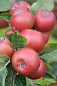 Apple 'Cockett's Red', mid September. A bright red English dessert apple from Cambridgeshire, early 20th century.