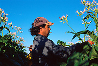 Luc Avolio and Co-worker Topping Tobacco, Avolio's Farm, Mareeba, 2003.