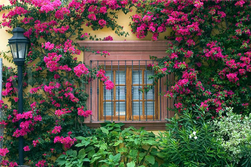 Bougainvillea grows around a window in SAN MIGUEL DE ALLENDE - MEXICO.
