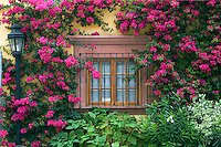 Bougainvillea grows around a window in SAN MIGUEL DE ALLENDE - MEXICO.