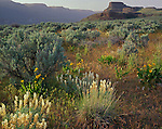 North Columbia Basin Wildflife Area, WA<br /> Velvet lupine, balsamroot and sage below the cliffs of the Lower Grand Coulee