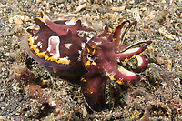 Although capable of swimming, the Flamboyant Cuttlefish, Metasepia pfefferi, usually walks across the bottom on lower arms and ventral flaps to ambush unwary fish and crustaceans. Lembeh Strait, North Sulawesi, Indonesia