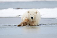 Polar bear cub wades in the slushy waters of Alaska's Beaufort Sea, Arctic National Wildlife Refuge.