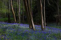 The Common Bluebell with its bell-shaped flowers appears in European woodland in the Spring