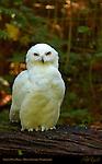 Snowy Owl Male, Arctic Owl, Great White Owl, Mount Ranier, Washington
