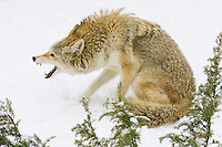 Coyote snarling while sitting in the snow - CA