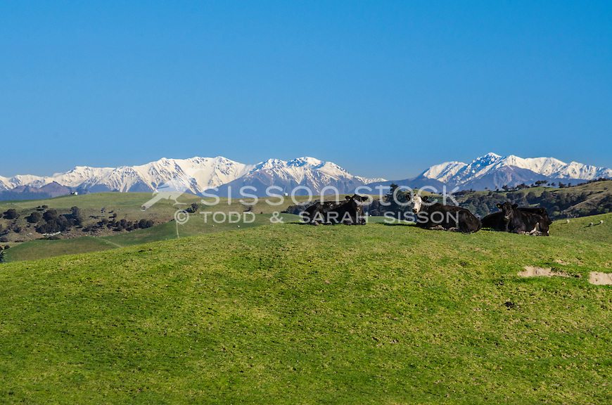 Cows on green foothils. snowy Kaweka range in background.  Hawkes Bay, North Island New Zealand.