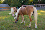 Old Bethpage, New York, USA. September 28, 2014. Two Palomino horses graze on grass by the livestock barn at the 172nd Long Island Fair, a six-day fall county fair held late September and early October. A yearly event since 1842, the old-time festival is now held at a reconstructed fairground at Old Bethpage Village Restoration. The Palomino has a gold coat and white mane and tail.