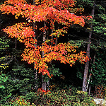 Red leaves of a maple tree in the Fall near Baxter State Park, Maine, USA
