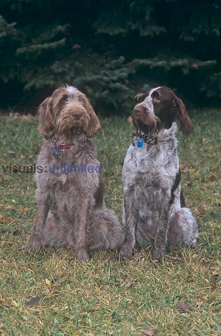 Spinone Italiano variety of domestic dog.