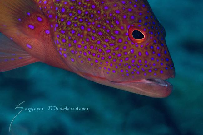 Coral Grouper, Cephalopholis miniata, Anilao, Philippines