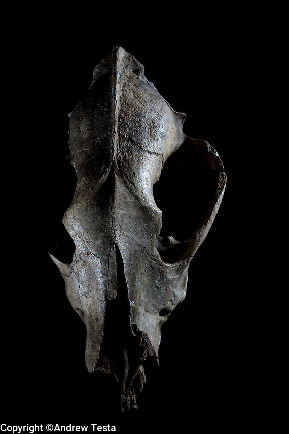 Belgium. Brussels. London. 17th November 2015<br /> A dog skull believed to be 36,000 years old at the Royal Belgian Institute of Natural Sciences<br /> <br /> Andrew Testa for the New York Times