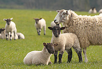 Suffolk cross lambs out of Mule ewe, Lancashire.