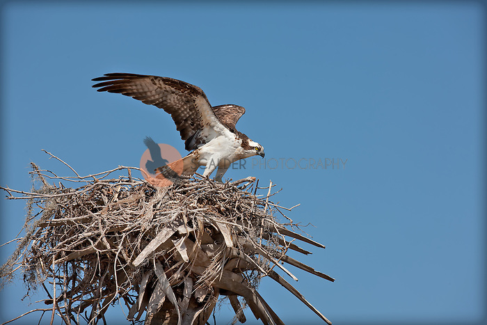 Osprey taking flight from nest in Everglades National Park with blue sky background