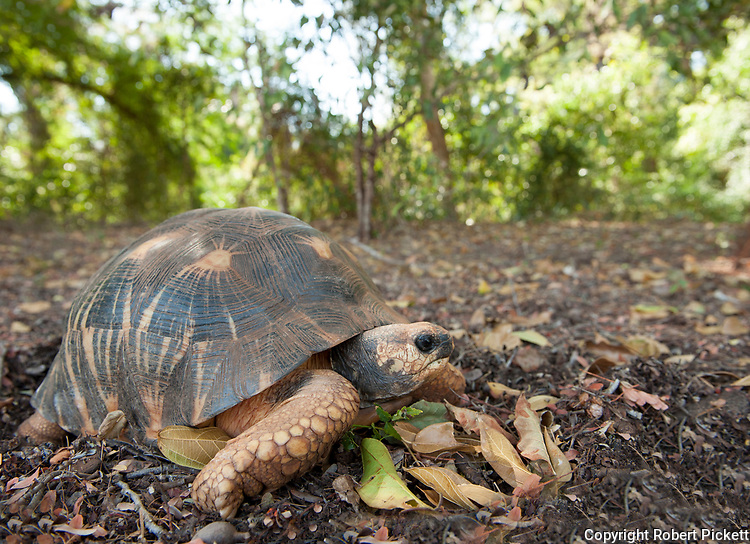 Radiated tortoise, Geochelone radiata, in forest, Berenty National Park, Madagascar, native, endemic, Critically Endangered IUCN Red Data list, Appendix I of CITES (Convention on International Trade in Endangered Species of Wild Fauna and Flora), which pr