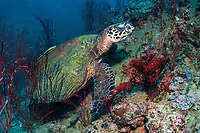 Hawksbill Turtle, Eretmochelys imbricata, feeding, Koh Tao, Thailand, Gulf Of Thailand, South China Sea, Indian Ocean