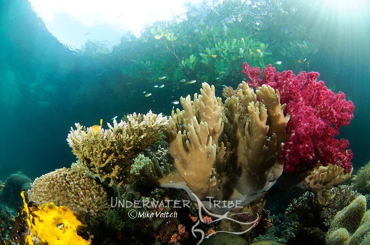 A variety of corals under the mangroves, Dendronephthya sp., Acropora sp., Lytophyton sp., and Raja Ampat, West Papua, Indonesia, Pacific Ocean