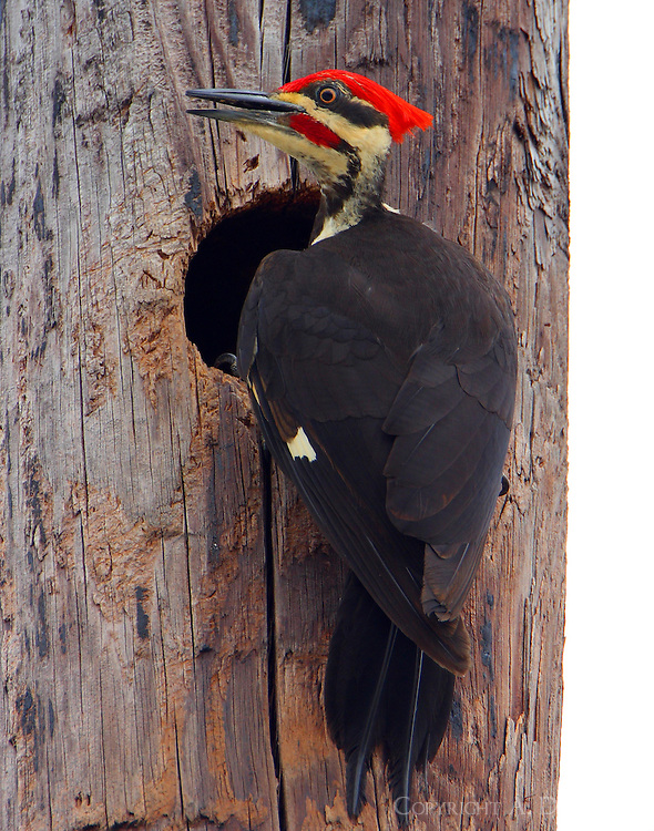 Male pileated woodpecker at nest cavity