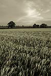 A field of ripening wheat in Suffolk.