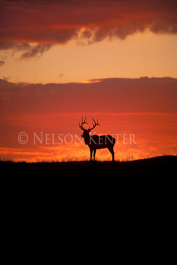 A Bull Elk is silhouetted against an orange Montana sky just after sunset