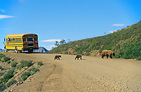Sow grizzly bear and two spring cubs cross the Denali Park Road as tourists watch from a bus, Denali National Park, Alaska