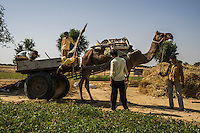 A camel cart is manoeuvred through the fields where guar is being grown in a Demo Plot, to collect harvests in Runiya Badabaas village, Bikaner, Rajasthan, India on October 23, 2016. Non-Profit Organisation Technoserve works with Guar farmers in Bikaner to provide technical farming knowledge to them, improving their crop yield through good agricultural practices. Photograph by Suzanne Lee for Technoserve