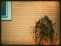 Dying flowers against yellow siding of house. Manipulated with app. iPhone photo.