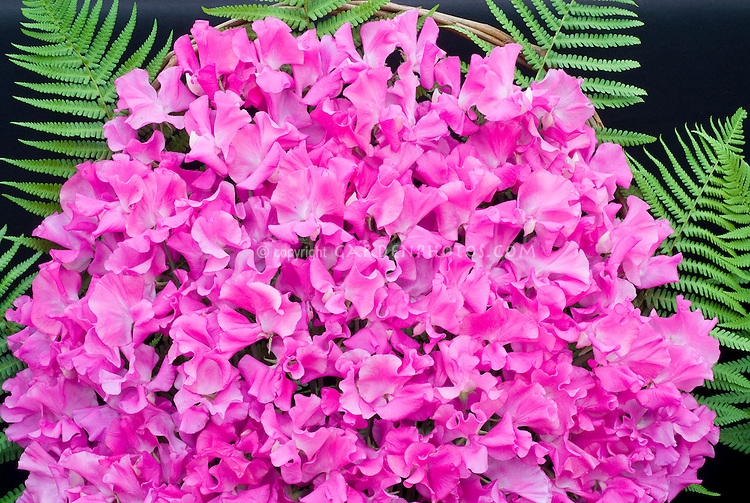 Sweetpeas pink with ferns, cut flower arrangement display exhibition of blooms, Lathyrus odoratus